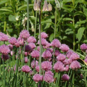 Allium schoenoprasum - Schnittlauch