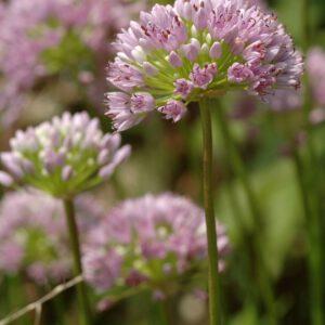 Allium senescens ssp montanum - Berglauch