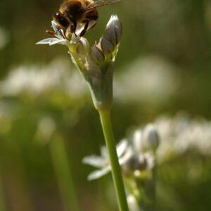 Allium tuberosum - Schnittlauchknoblauch
