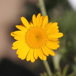 Anthemis tinctoria - Färberkamillle