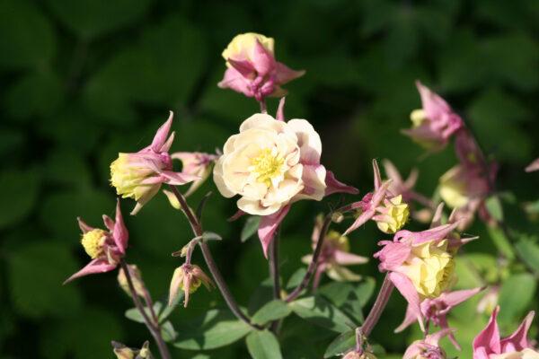 Aquilegia vulgaris 'Winkt gefüllt Rosa-Weiß' - Akelei