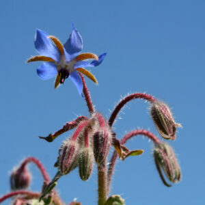 Borago officinalis - Borretsch