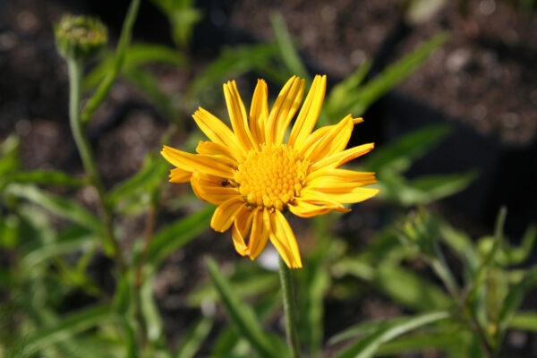 Buphtalmum salicifolium - Ochsenauge/Gelbblühende Scheinmargerite