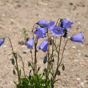 Campanula cochleariifolia 'Bavaria Blue' - Niedliche Glockenblume