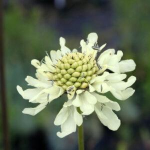 Cephalaria gigantea - Großer Schuppenkopf