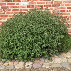 Cistus incanus ssp. tauricus - Cistrose