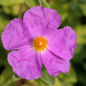Cistus x lenis 'Grayswood Pink'- Zistrose 'Grayswood Pink'