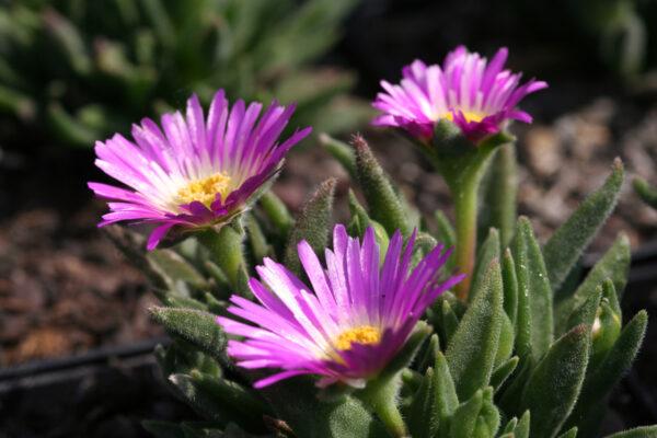 Delosperma sutherlandii - Transvaal-Mittagsblume
