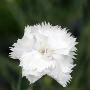 Dianthus caryophyllus fl. pl. 'Grenadin Weiß' - Land-Nelke 'Grenadin Weiß'