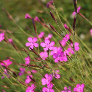 Dianthus deltoides - Heidenelke (Regio)