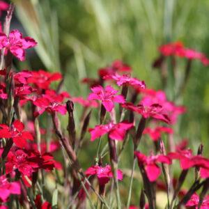 Dianthus deltoides 'Leuchtfunk' - Heidenelke 'Leuchtfunk'