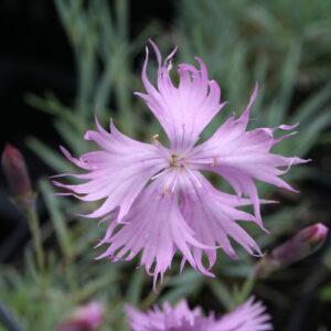 Dianthus gratianopolitanus 'Rosafeder' - Pfingst-Nelke 'Rosafeder'