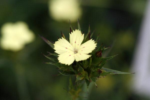 Dianthus knappii - Schwefel-Nelke/Gelbblühende Balkan-Nelke