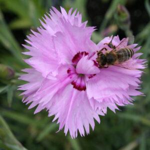 Dianthus plumarius fl. pl. 'Roseus' - Federnelke 'Roseus'