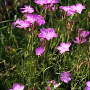 Dianthus pyrenaicus - Pyrenäen-Nelke