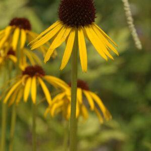 Echinacea paradoxa var paradoxa - Gelber Sonnenhut