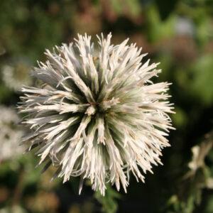 Echinops bannaticus 'Star Frost' - Banater-Kugeldistel 'Star Frost'
