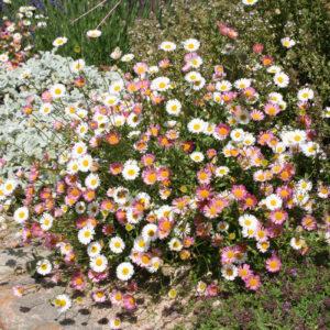 Erigeron karvinskianus 'Blütenmeer' - Spanisches Gänseblümchen