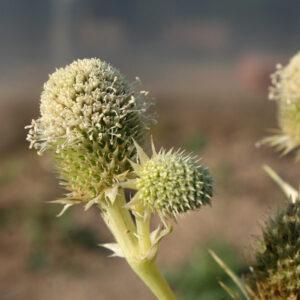 Eryngium agavifolium - Agavenblättrige Mannstreu