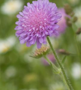 Knautia arvensis - Acker Witwenblume