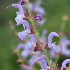 Salvia cyanescens