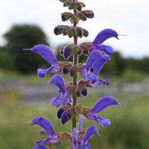 Salvia transsylvatica