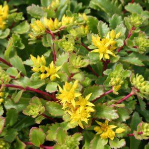 Sedum middendorfianum 'Diffusum'
