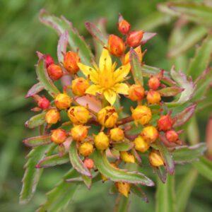Sedum middendorfianum var. middendorfianum