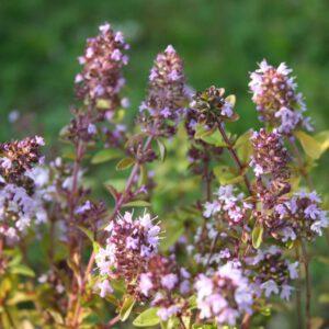 Thymus pulegioides - Quendel, Arznei-Thymian