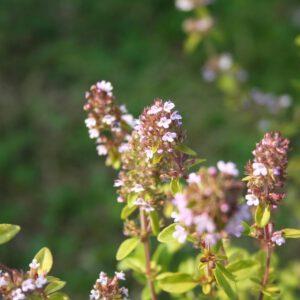 Thymus serpyllum - Sand-/ Feld-Thymian