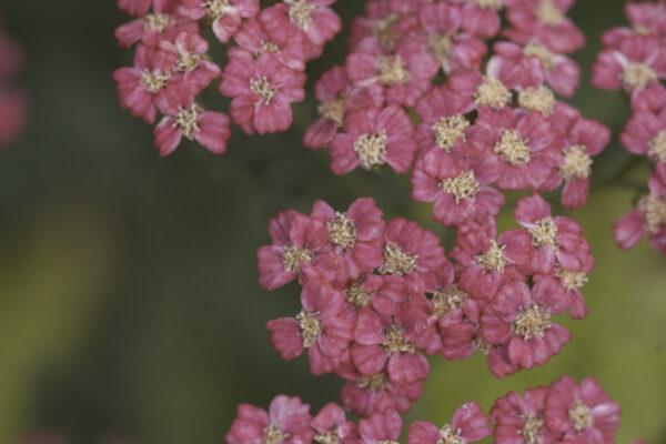 Achillea millefolium 'Cassis' - Rote Schafgarbe 'Cassis'