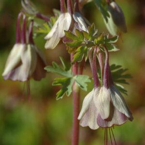Aquilegia viridiflora - Chinesische - / Braune Akelei