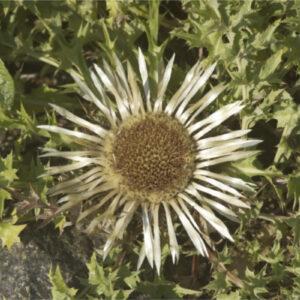 Carlina acaulis ssp. simplex - Silberdistel