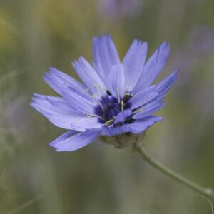 Catananche caerulea - Rasselblume