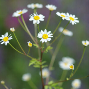Chrysanthemum parthenium - Mutterkraut