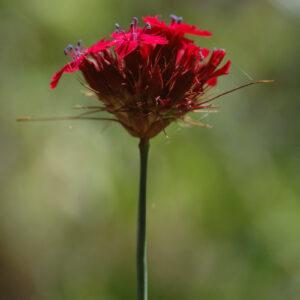 Dianthus cruentus - Blut-Nelke