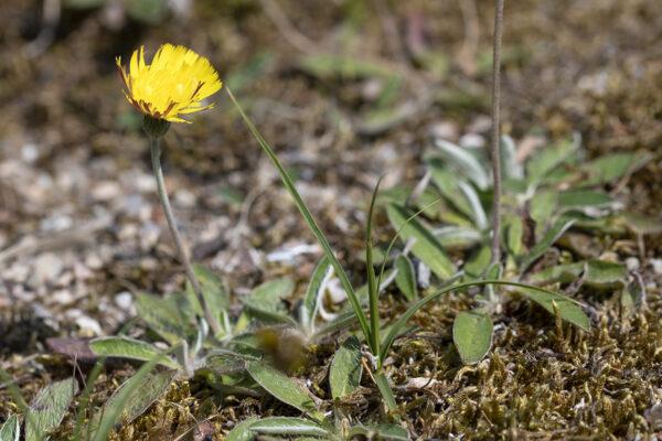 Hieracium pilosella - Kleines Habichtskraut (Regio)