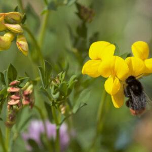 Lotus corniculatus - Hornklee (Regio)