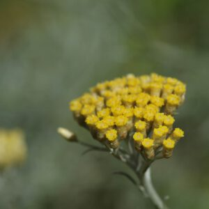 Currykraut - Helichrysum italicum
