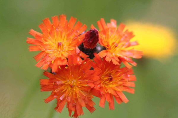 Hieracium aurantiacum - Orangerotes Habichtskraut