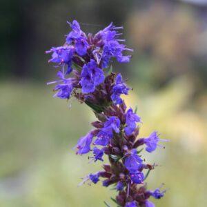 Hyssopus officinalis - Ysop