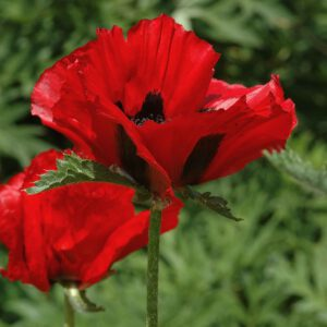 Papaver 'Beauty of Livermeer' - Orientalischer Mohn 'Beauty of Livermere'