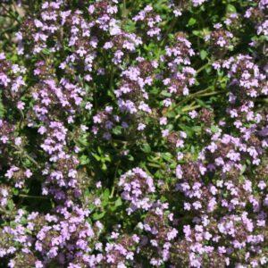 Thymus vulgaris 'Unser Thymian'-Thymian