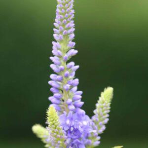 Veronica longifolia 'Blaue Töne' - Langblättriger-Ehrenpreis 'Blaue Töne'