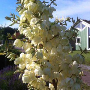Yucca filamentosa - Fädige Palmlilie