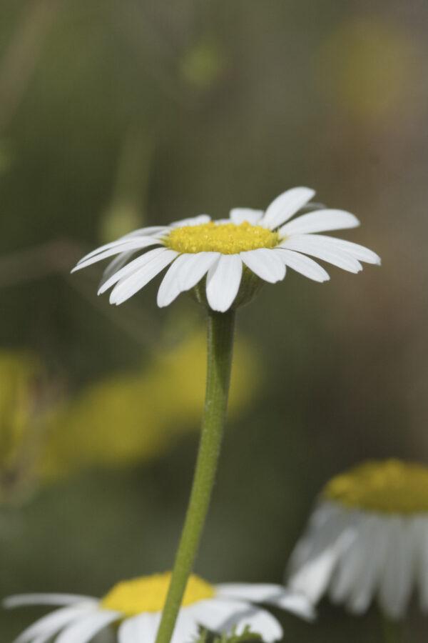 Anacyclus pyrethrum var. depressus - Atlas Ringblume / Marokkanische Kamille