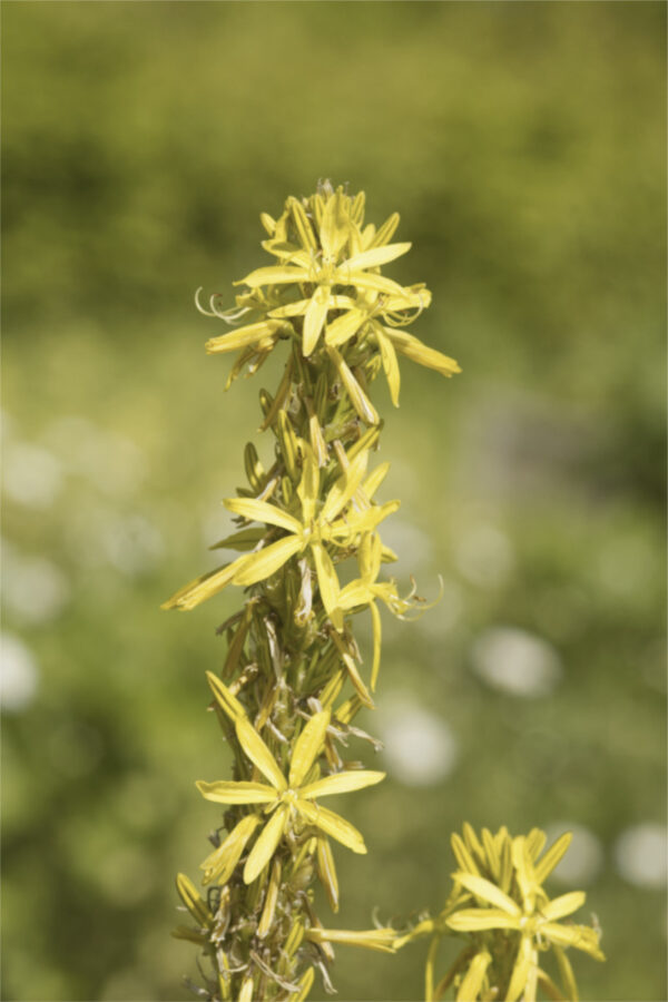 Asphodeline lutea - Mittelmeer-Junkerlilie