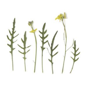 Diplotaxis tenuifolia - Italienische Rauke
