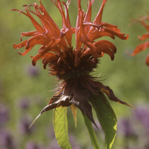 Monarda didyma 'Jacob Cline'