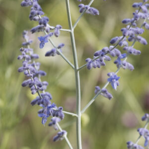 Perovskia atriplicifolia - Blauraute